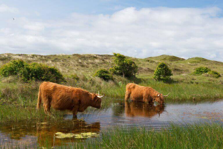 Schotse Hooglanders drinken water