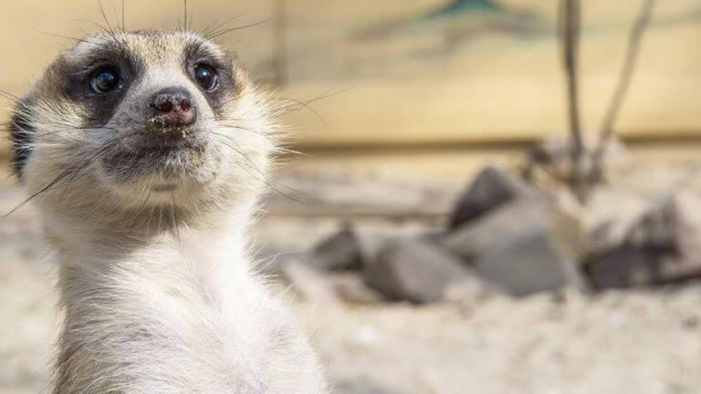 stokstaartjes - Texel Zoo