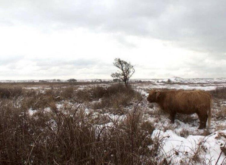 Winters beeld met een Schotse Hooglander nabij Het Grote Vlak