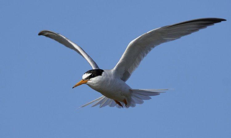Little tern in its natural habitat in Denmark