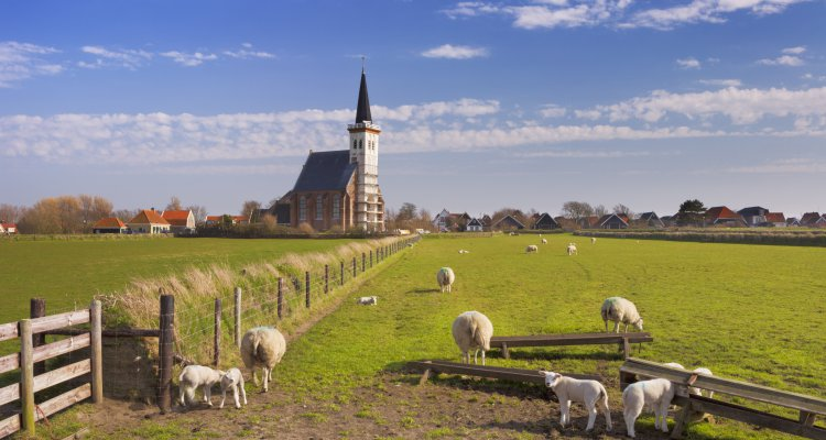 The church of Den Hoorn on the island of Texel in The Netherlands on a sunny day. A field with sheep and little lambs in the front.