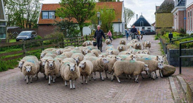 Een schapenboer met zijn schapen in Den Hoorn