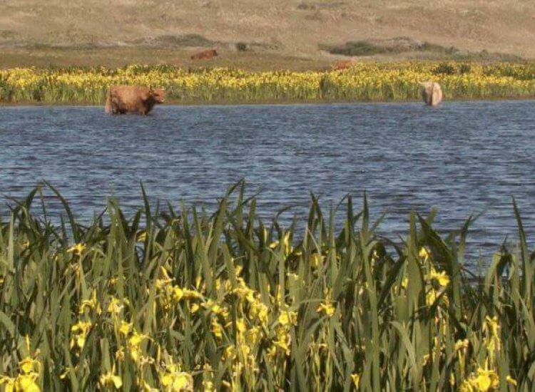 Schotse Hooglanders pootjebadend in het water bij Het Grote Vlak