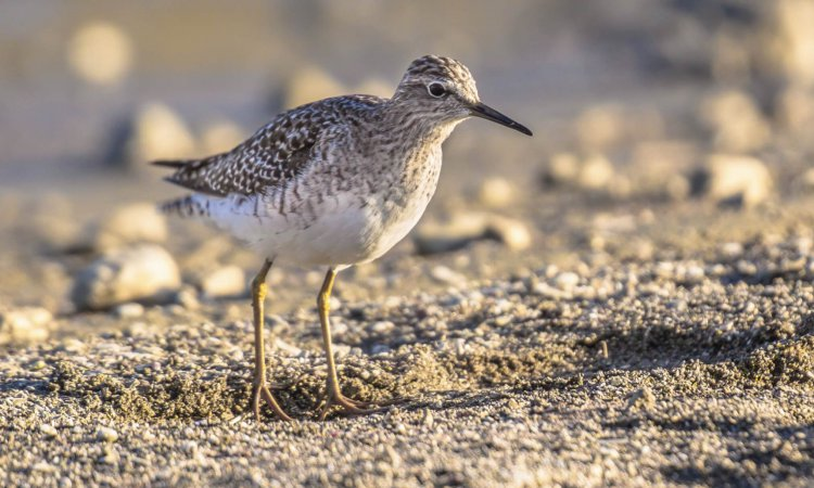 Common sandpiper (Actitis hypoleucos) looking for food during migration on Cyprus beach