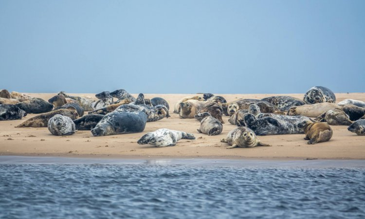 A Colony Of Harbor And Gray Seals Resting On A Beach In Scotland With Copy Space
